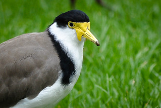 Masked Lapwing | by salnel