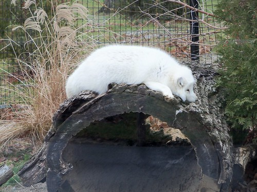 Arctic Fox Sprawled | by BunnyHugger