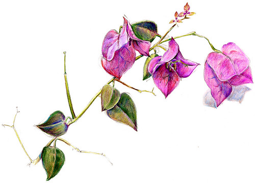 Bougainvillea sketch | by maralina!