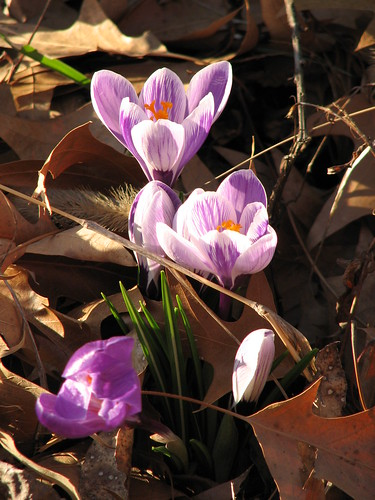 crocus | by christmasnotebook
