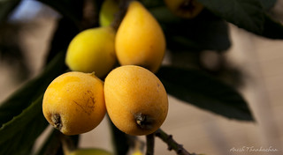 Japanese Loquat | by Anish Thankachan