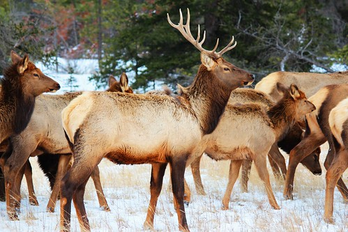 Elk: Wildlife beauty in Jasper National Park. | by Peggy2012CREATIVELENZ