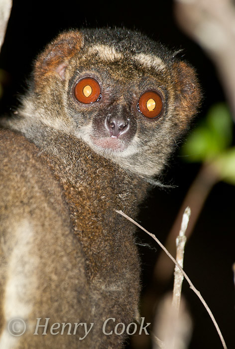 Eastern Woolly Lemur The Eastern Woolly Lemur Or Eastern A Flickr