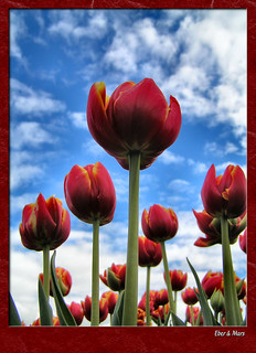 Tulipanes al cielo / Tulips reaching for the sky | by Eber&Mars