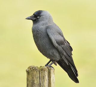 Mr Jackdaw | by earlyalan90 away awhile