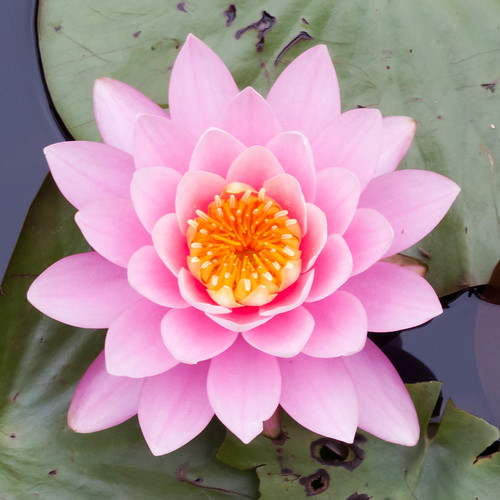 pink lotus | by Emsquee