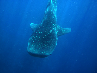 Whale shark, Dhifushi outside, South Ari Atoll, Maldives | by `antonka