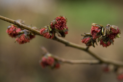 parrotia persica bloom 4 | by Scott Weber PDX