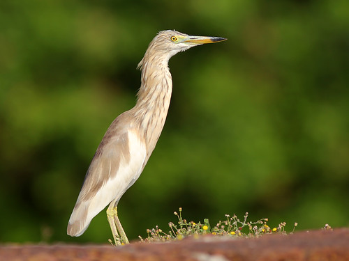 Indian Pond Heron | by SivamDesign
