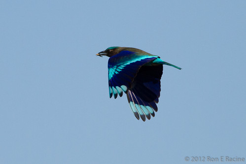 Indian Roller IV | by rracine1