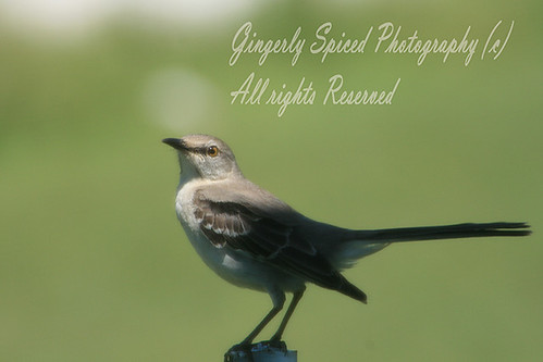 Sing me a sweet song | by Gingerly Spiced Photography