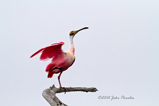 Male Roseate Spoonbill displaying | by bananaman33428