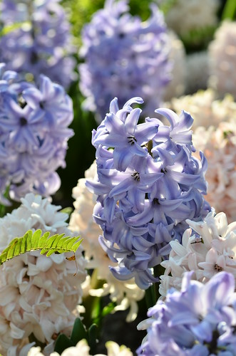 hyacinth | by potatolovertwo