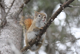 Hersey Lake Conservation Area - Red Squirrel - Timmins Ontario | by Gerald (Wayne) Prout