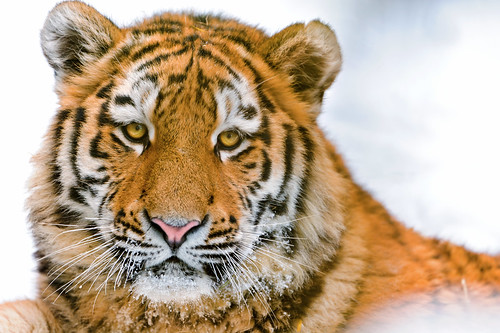 Beautiful portrait of Lailek | by Tambako the Jaguar