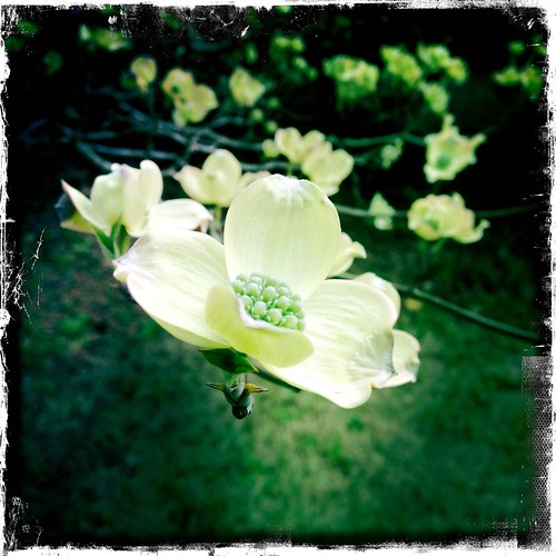 Dogwood blooms in March | by georgemikodesigns.com