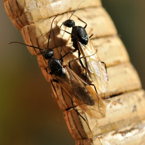 Winged ants (Formicidae, Hymenoptera) in the bathroom at h ...