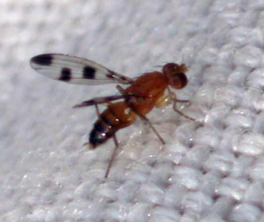 Geomyza tripunctata 6889873587_a7e201efa4_o