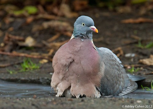 Wood Pigeon - Bath Time | by Ashley Cohen Photography