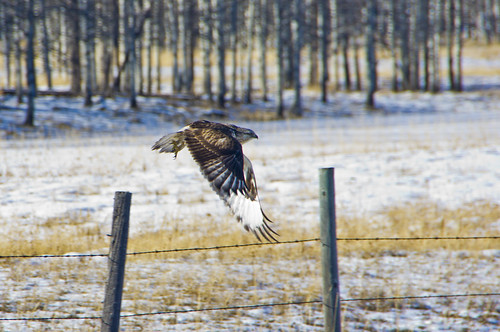 Rough-legged Hawk in flight | by Dan Arndt