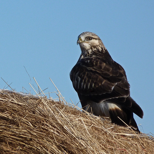 Rough-legged Hawk | by annkelliott