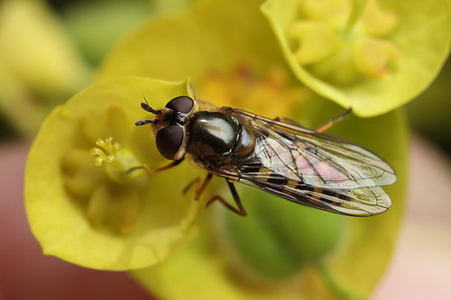 Hoverfly on Euphorbia #2 | by Lord V