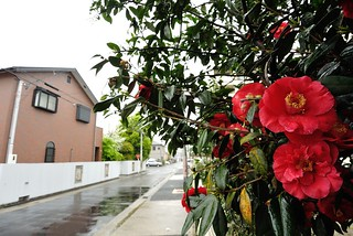 Camellia in rainy day. | by HIDE@Verdad