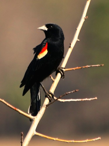 Red-winged Blackbird | by anna492