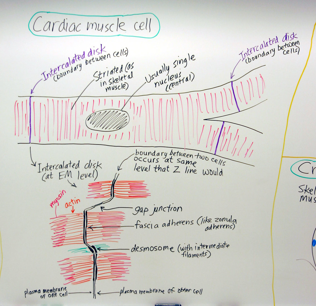 Muscle: Cardiac Muscle Cell | A hand drawn sketch by Dr. Chr… | Flickr