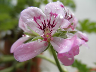 Geranium in the rain | by lanoo_gr