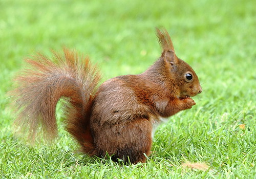 Red Squirrel | by Gertj123