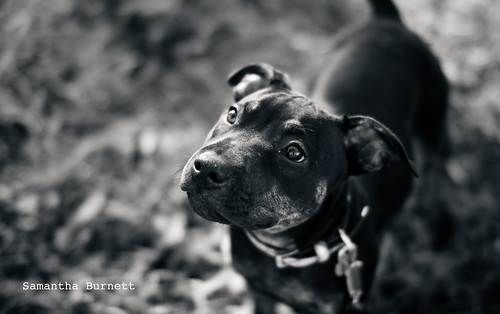 Staffy pup | by Dreams of Whimsy