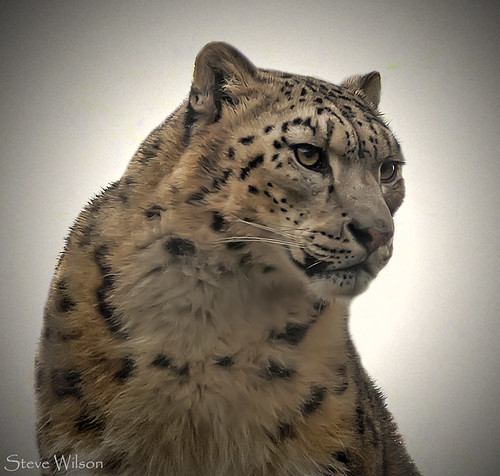 The endangered Snow Leopard | These rare, beautiful grey ...