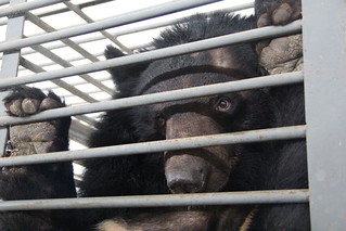 A moon bear on Nanning Bear Farm | by Animals Asia