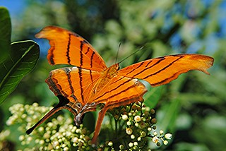 magnificent ruddy daggerwing is nectaring on florida holly