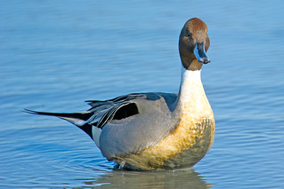 Northern Pintail Male | by Brian E Kushner