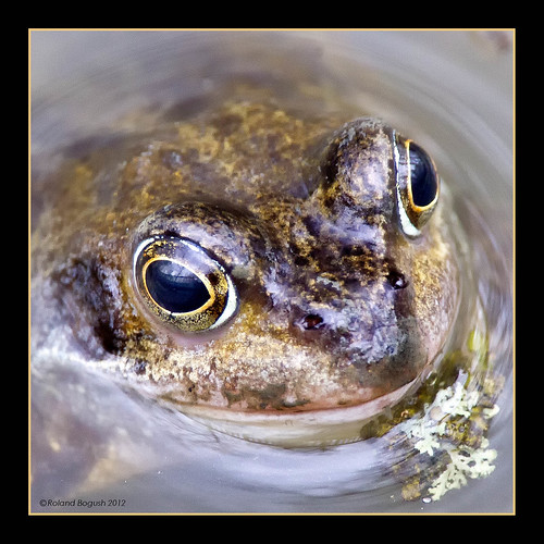 Frog eye reflections | by Roland Bogush