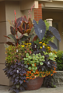 Tropicanna Black in Todd Holloway container garden | by tesselaarusa