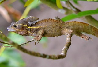 Jesus Christ Lizard (Yellow Striped) in tree at Tortuguero, Costa Rica. | by One more shot Rog
