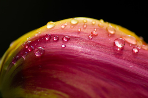 Droplets on a tulip | by Laurie Robinson
