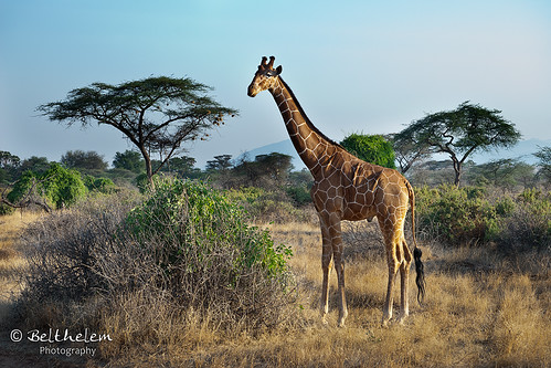 Giraffe camelopardalis reticulata | by belthelem