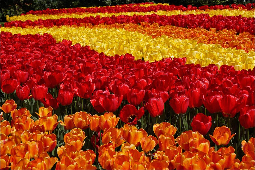 Image result for keukenhof tulip garden