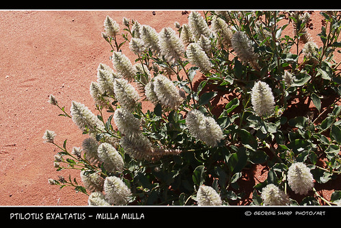 Ptilotus exaltatus - mulla mulla | by Georgie Sharp