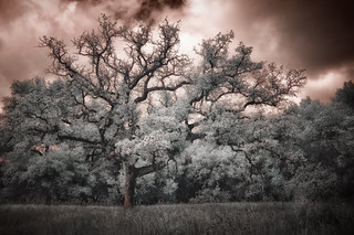 Boden Canyon Oak 2 | by Doug Knisely