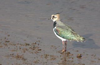 Lapwing | by blootoonloon1( No to Badger Cull)
