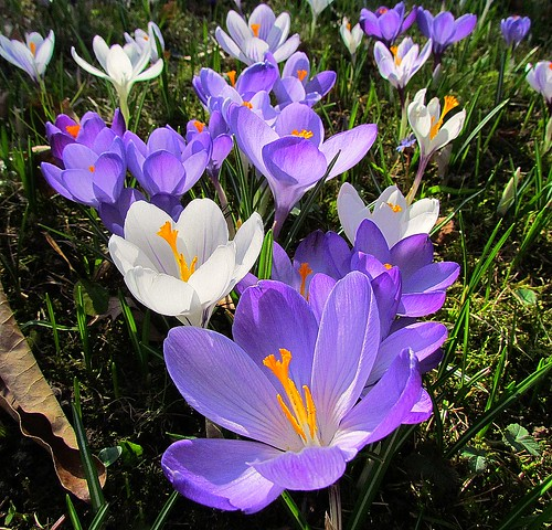 Early Spring - purple and white Crocus | by El2deepblue*