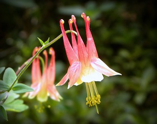 Columbine | by ChicaD58