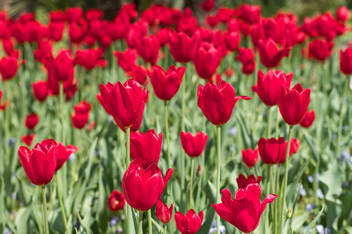 Red Tulips | by Manuel Buetti (All images Copr.)