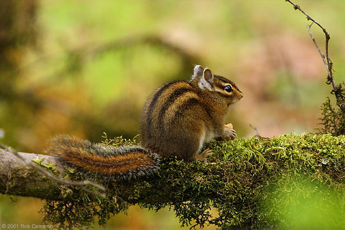chipmonk | by Seattle Parks & Recreation