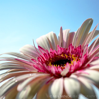 gerbera | by Mia Minor